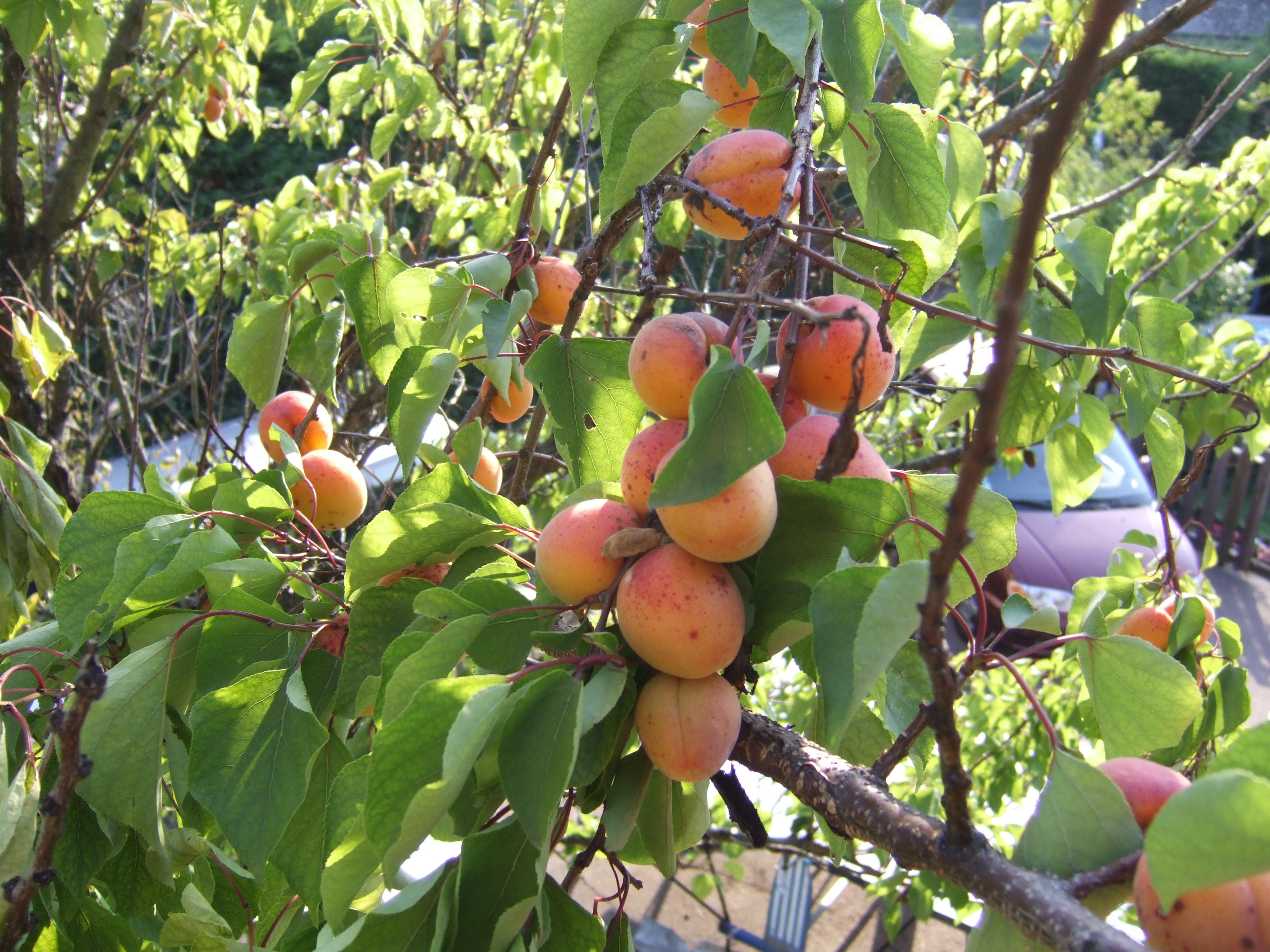 09-06-26-apricots (1)
